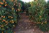 El declive del sector citricola valenciano